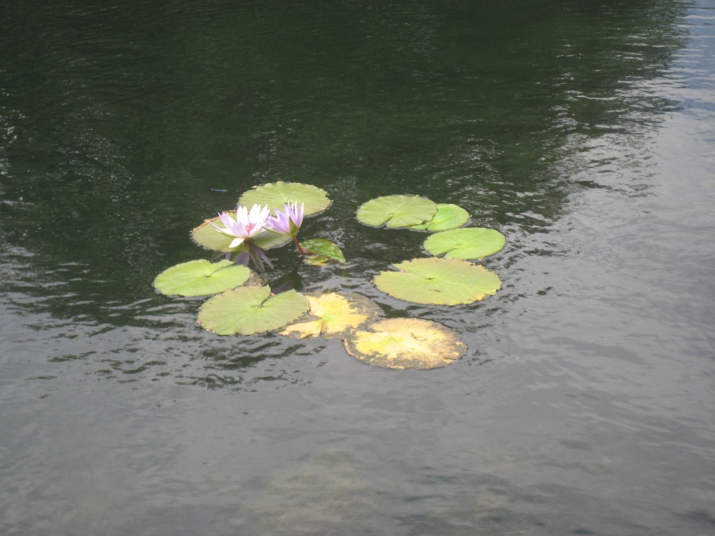 Lilies in our lake